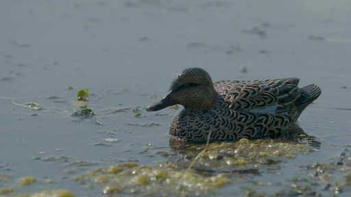 Avian-X Top Flight Teal Early Season Duck Decoys 6 Pack - image 3 from the video
