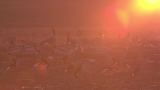 Avian-X Painted Honker Canada Goose Decoy Combo 6 pack - image 4 from the video