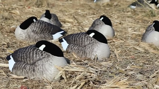 Avian-X Painted Canada Goose Sleeper Shells 6 Pack - image 8 from the video