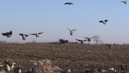 Avian-X AXP Outfitter Lesser Decoys 12 pack - image 3 from the video