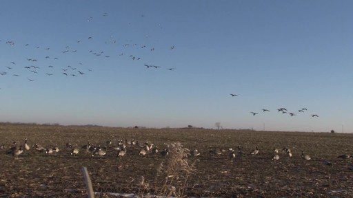 Avian-X AXP Outfitter Lesser Decoys 12 pack - image 4 from the video