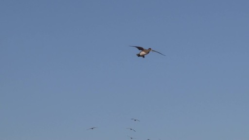 Avian-X Top Flight Gadwall Gray Duck Decoys 6 Pack - image 10 from the video