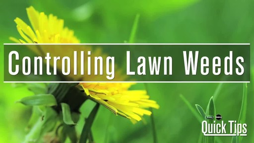 Controlling Lawn Weeds with Frankie Flowers - image 1 from the video