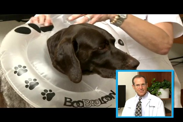 BooBooLoon Pet Recovery Collar - image 6 from the video
