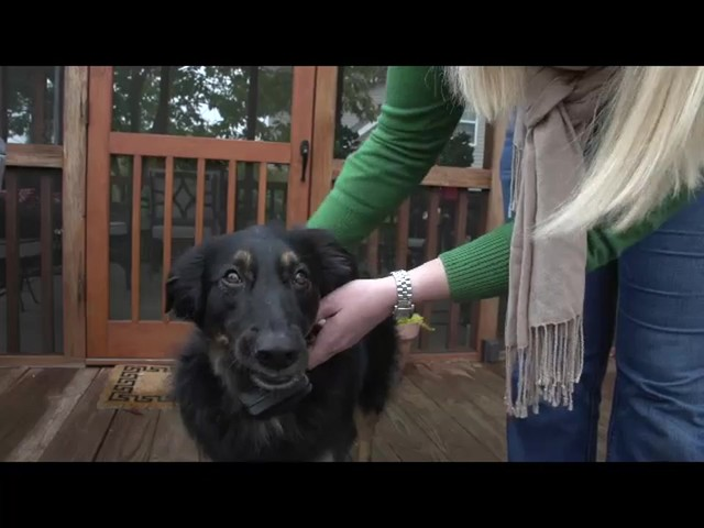 Receiver Collar - PetSafe Wireless Mapping Fence Extra Receiver Collar - image 6 from the video