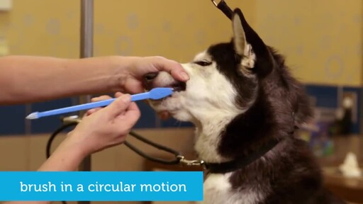 How to Brush Your Dog's Teeth - image 5 from the video
