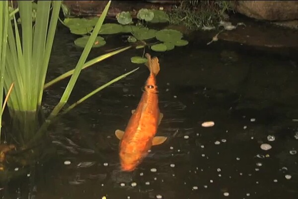 Benefits of Fish in Your Pond - image 4 from the video