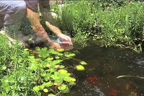Benefits of Fish in Your Pond - image 7 from the video