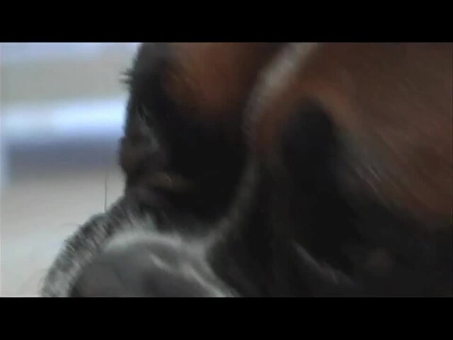 How-to Introduce KONG to Your Dog - image 3 from the video