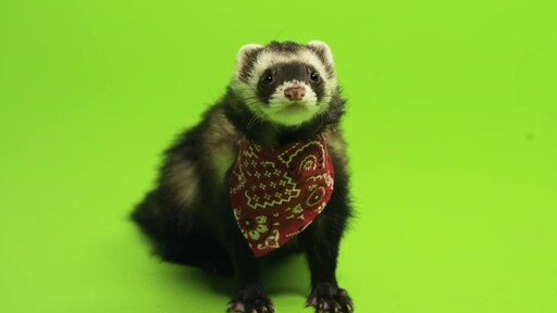 Ferret Facts - image 1 from the video