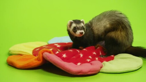 Ferret Facts - image 2 from the video