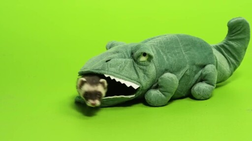 Ferret Facts - image 5 from the video