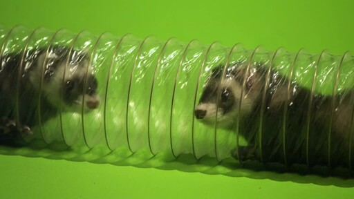 Ferret Facts - image 7 from the video