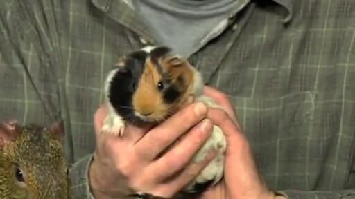 Guinea Pigs - image 2 from the video