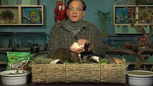 Guinea Pigs - image 5 from the video