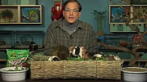 Guinea Pigs - image 6 from the video