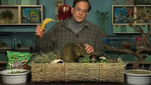 Guinea Pigs - image 8 from the video