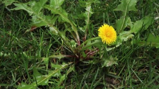Suppression des mauvaises herbes de la pelouse - image 4 from the video