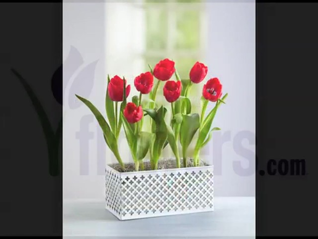 Red Tulip Garden Care & Handling Tips Video - image 10 from the video