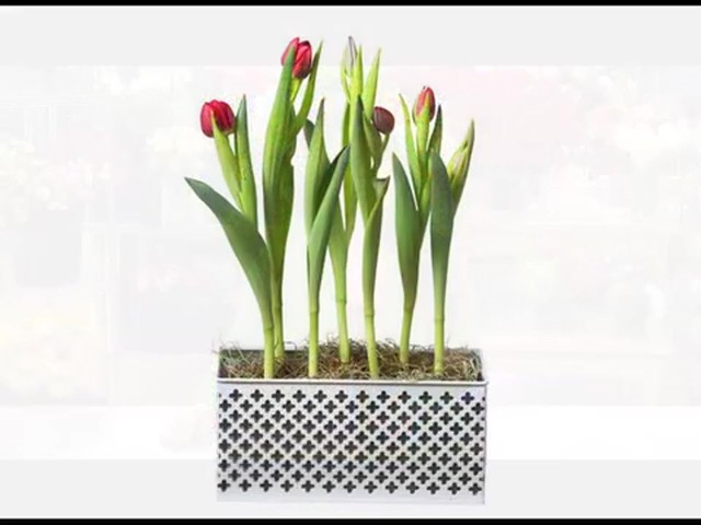 Red Tulip Garden Care & Handling Tips Video - image 7 from the video