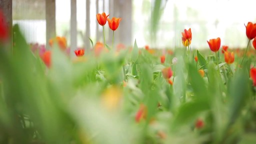 Sunvalley Farms Soil Tulips - image 6 from the video