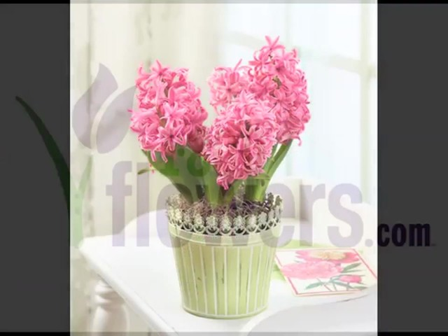 Heavenly Hyacinth Garden Care & Handling Tips - image 10 from the video